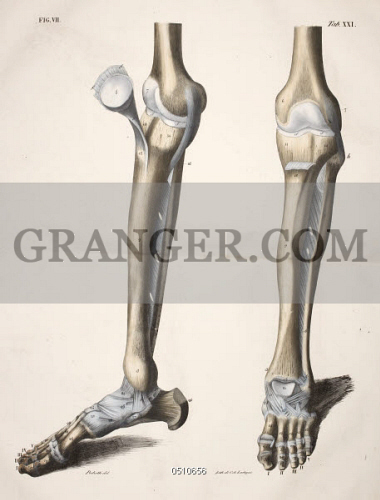 Image Of British Library Planches Anatomiques Du Corps Humain Executei Es Da Aprei S Les Dimensions Naturelles Anatomical Drawing Skeleton Knees Leg Tibia And Foot Full Credit British Library Granger Nyc